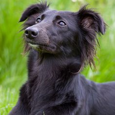 Longhaired Whippet Breed Guide - Learn about the Longhaired Whippet.