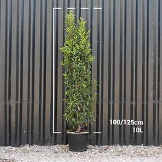 Portuguese Laurel hedge plants | Prunus lusitanica hedging
