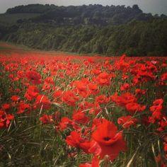 Poppy field - kent