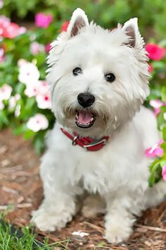 We need to find another Westie to love and cherish. Our dear one passed on from Cushing's.
