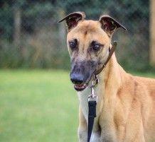 Richie – (Mercenary) | Greyhounds as Pets