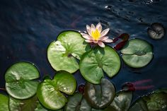 It may be summer but science doesn't go on vacation. Researchers with the Virginia Commonwealth University Rice Rivers Center are out and about all year long — even during these steamy dog days — investigating the earth, wetlands and waterways. Pictured: Hardy Water Lily