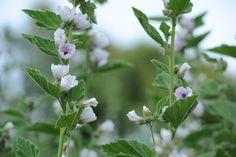 Organic Marshmallow from Viridian Nutrition.
