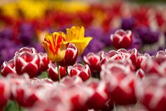tulips, flowers, plant, red, garden, spring