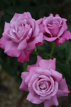 Lavender roses (rosa 'Charles de Gaulle')