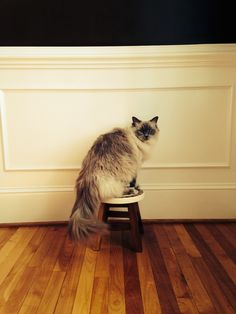 Dasher-Ragdoll Cat