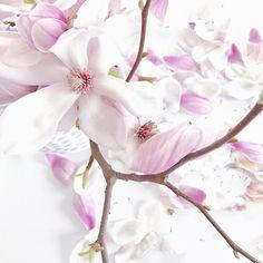Auch verblüht noch wunderschön.    #magnoliaspam #4moreflowers #flowerpowerbloggers #magnolia #magnolien #frühlingserwachen #magnolienliebe