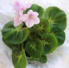 African Violet - Little Bo Peep This has ' girl' foliage