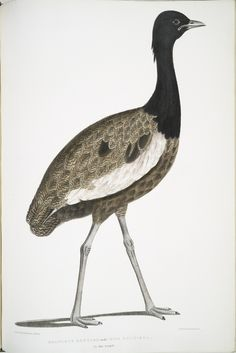 Delicious Bustard, Otis deliciosa. Male. 2/3 Natural size. From New York Public Library Digital Collections.