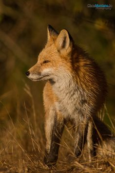 ~ Watching the Sun Rise ~ photo by Chris Montano Jr. Female Fox, Little Fox, Animal Totems, Red Fox, Foxes, Bats, Animal Drawings, Pet Birds, Deer