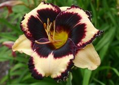 Dark Purple Matter daylily, saw it at QB Daylily in display garden