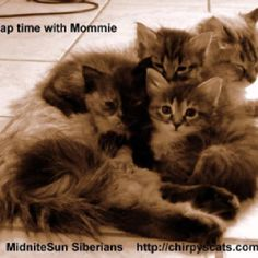 My friends cute baby Siberians and their mommy, some may be available
