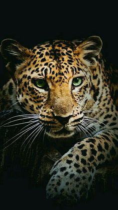 Leopard Wallpaper, Animal Wallpaper, Bird Wallpaper, Tiger Wallpaper Iphone, Cover Wallpaper,