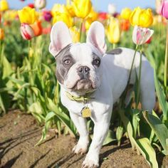 Can I come out of hiding yet? #mondayfeelslike, French Bulldogs @3frenchiesinapod on instagram