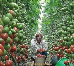 Vegetable Garden, Tomato Garden, Outdoor Gardens, Outdoor Plants, Farm Gardens, Growing Greens, Growing Veggies, Growing Tomatoes, Sodas