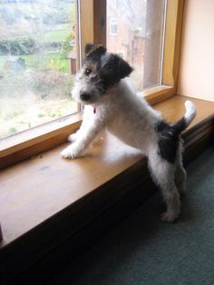 I want to go outside. Can we? Wire Haired Fox terrier pup