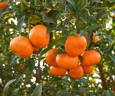 "mmmm ""honey"" oranges"