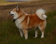icelandic dog by arni einarsson