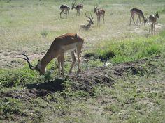 Serengeti National Park, Tanzania, National Parks, Animals, Animales, Animaux, Animal, Animais