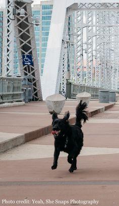 Black dog BooBoo, survivor of Rocky Mountain Spotted Fever, joyfully running on a bridge Rocky Mountain Spotted Fever, Rocky Mountains, Bridge, Running, Dogs, Black, Racing, Black People, Bro