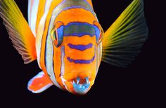 National Aquarium Gov Doc: Harlequin Tuskfish | LIS-GISIG: Gov Info, Sources, Data & Docs