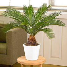 Get easy growth and hardy strength, as well as tropical-inspired flair, from our Sago Palm Trees. Indoor Palms, Best Indoor Plants, Cool Plants, Outdoor Plants, Cactus Plants, Palm Plants, Palm Tree Plant, Ivy Plants, Tomato Plants