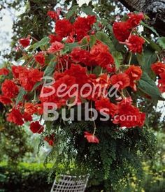 Begonia Hanging Basket Scarlet is a double-flowered variety with numerous, scarlet red blooms. AmeriHybrid® hanging basket begonias are very floriforous, have an outstanding branching habit and boast very large flowers - approximately 3 to 6 inches in diameter!  Bulb size: Large (2
