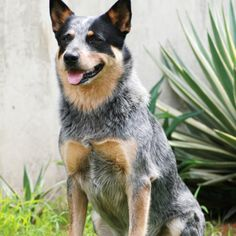 Click to learn about the Australian Cattle Dog