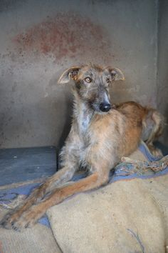 Nuez a lovely young galgo = spanish greyhound, waiting in a spanish shelter for a home
