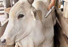 Taís Paranhos: Prazo para vacinar gado contra febre aftosa termin...