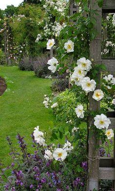 Mountain Snow Rose in Garden Garden Spaces, Garden Plants, Sun Garden, Fruit Garden, House Plants, White Roses, White Flowers, Cerca Natural, Snow Rose
