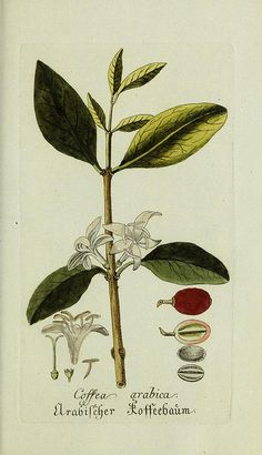 "smithsonianlibraries: "" For coffee day, enjoy some botanical illustrations of Coffea arabica along with your cup o' Joe. Illustrations from: •  Presented with compliments of Chase & Sanborn (1882) • ..."