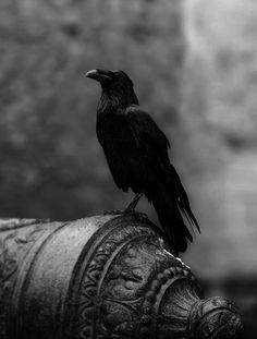 ravens' are my favorite animal