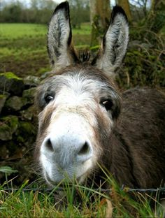 If you wonder what a donkey can eat, you can find all important feeding facts here. Take good care of your donkey with best information. Baby Donkey, Cute Donkey, Mini Donkey, Donkey Donkey, Baby Cows, Farm Animals, Animals And Pets, Funny Animals, Cute Animals