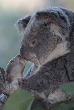 """sdzoo: """" #KoalaforniaKisses (photo: Russell Johnston) """""""