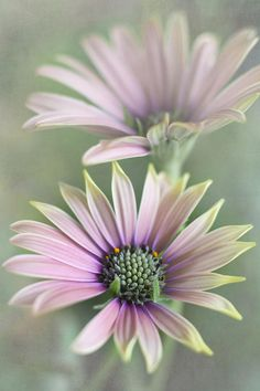 ~~ Daisy Pair Photograph ~~