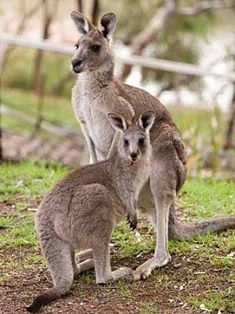 Kangaroo Family - Big Foot Marsupials | Animal Pictures and Facts | FactZoo.com