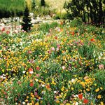 Proven in areas that receive less than a full days sun. It contains 27 shade-tolerant species including Foxglove, Wallflower, Cornflower, Poppies, Sweet William, and Columbine. This mix is great for use up against a fence or building, or near trees where sunlight is diminished. Mix of annuals and perennials.(Requires strong filtered sunlight or 1-4 hours of direct sun per day. These plants will not prosper in dense shade.)Coverage Rate: 1lb. per 2000 sq. ft.