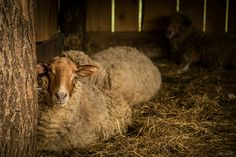 tunis sheep | Flickr - Fotosharing!