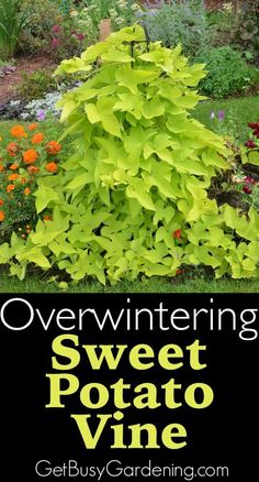 Step by step instructions for successfully overwintering sweet potato vines…