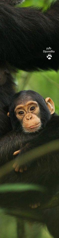 Chimpanzee Baby
