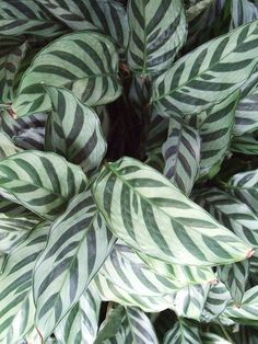 27 of the Easiest Houseplants You Can Grow - House Plants - ideas of House Plants - Calathea There are a number of varieties available some with rose white or yellow leaves. Each one also has a different leaf pattern of colorful spots or blotches. Plantas Indoor, Calathea Plant, Prayer Plant, Iron Plant, Low Light Plants, Spider Plants, Yellow Leaves, Snake Plant, Pet Safe
