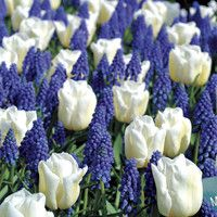 Park Seed - 2016 Park Fall Book - Tulip/Muscari Blend - Pack of 10