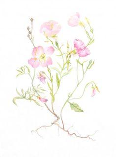 Lotus McElfish    Pink Evening Primrose  Oenothera speciosa  Watercolor