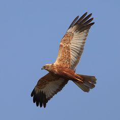 Bruine Kiekendief - Vogels (ijsvogel, koolmees, vink) - Bruine Kiekendief