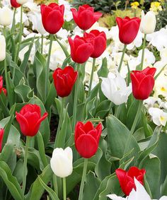 Another great find on #zulily! Tulip Peppermint Mix - Set of 20 Bulbs…