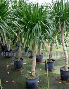 Unlike other Dracaena #houseplants, Dracaena arborea prefers bright indirect light to grow well. Care tips: http://www.houseplant411.com/houseplant/dracaena-marginata-how-to-grow-care-tips