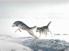 On bare paths, a wolf can quickly achieve speeds of 50–60 km/h. The gray wolf has a running gait of 55 to 70 km/h, can leap 5 metres horizon...
