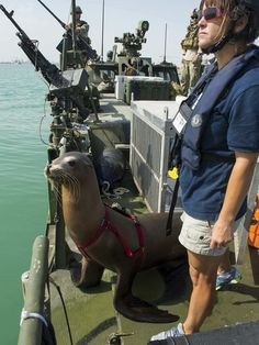 Marine mammals play key roles in detecting mines  (Any statistics on whether any have been injured in the process?  What do others think about this?)