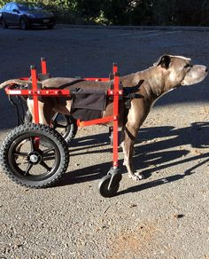 wheelchair dog gus modern atwood chair 24 best wheelchairs images pets pit bull in extra supportive bees